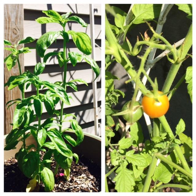 tomatobasil_0600